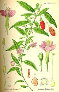 Kolcowój szkarłatny [fot. Wikipedia]
